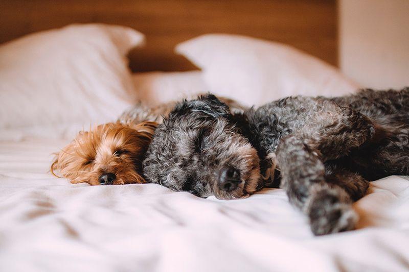 Hundar-sover-på-sängen